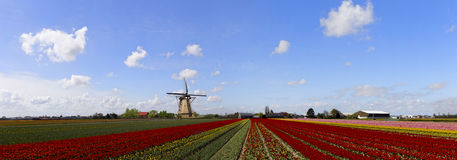 Very large 9000px high quality tulips farm panorama Stock Photos