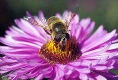 pyłek zbierania pszczół zdjęcia stock