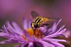 pyłek zbierania pszczół Obraz Stock