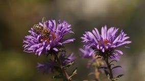pyłek zbierania pszczół Obrazy Stock
