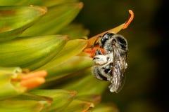 pyłek zbierania pszczół Zdjęcia Royalty Free