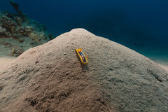 Pyama chromodorid in het Rode Overzees stock afbeeldingen