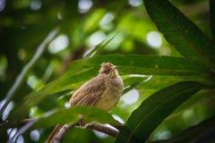 Pycnonotus blanfordi 免版税图库摄影