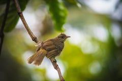 Pycnonotus blanfordi 库存照片