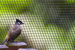 Pycnonotus cafer Royalty-vrije Stock Afbeeldingen