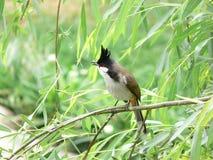 Pycnonotus jocosus Fotografering för Bildbyråer