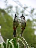 Pycnonotus jocosus Royaltyfri Fotografi