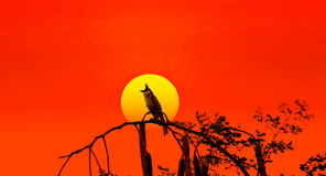 Pycnonotus jocosus silhouette at sunset Royalty Free Stock Image