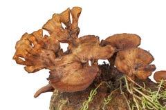 Pycnoporus sanguineus close up Stock Images