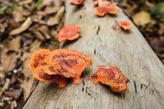 Pycnoporus sanguineus plocka svamp wild Fotografering för Bildbyråer
