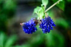 Pycnostachys Urticifolia Fotografia de Stock Royalty Free