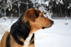 Pye-dog. Stray dog ​​walking on a winter forest Royalty Free Stock Images