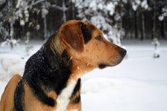 Pye-hond Royalty-vrije Stock Afbeeldingen