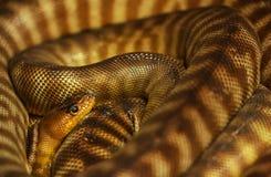 Pygmäe mit einem Band versehene Pythonschlange stockfotos