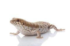 Pygmäe Stachelig-angebundenes Skink Lizenzfreie Stockbilder