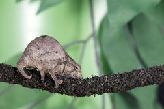 Pygmäenblatt-Chamäleon Stockbilder