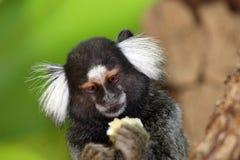 Pygmäencallithrix Lizenzfreie Stockbilder