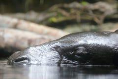 Pygmäenflußpferd Überwasser Lizenzfreies Stockbild