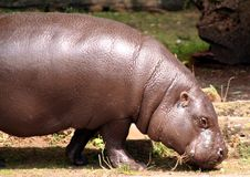 Pygmäenflußpferd lizenzfreies stockbild
