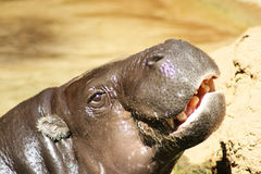 Pygmäenflußpferd Lizenzfreie Stockfotografie