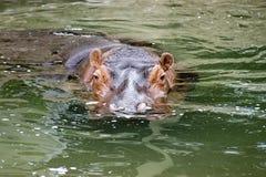 Pygmäenhippopotamus lizenzfreies stockbild