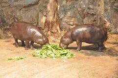 Pygmäenhippopotamus Stockfotografie