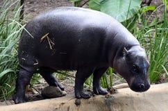 Pygmäenhippopotamus lizenzfreies stockfoto
