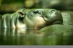 PygmäenHippopotamus Lizenzfreie Stockfotografie