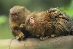 Pygmäenmarmoset Stockfoto