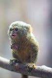 Pygmäenseidenäffchen lizenzfreies stockbild