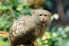 Pygmäenseidenäffchen lizenzfreie stockfotos