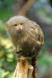 Pygmäenseidenäffchen Stockbild