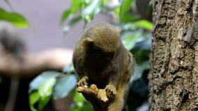 Pygmäenseidenäffchen stock video footage