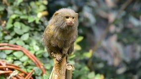 Pygmäenseidenäffchen stock video