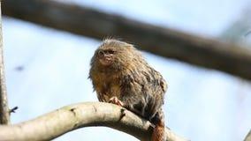 Pygmäenseidenäffchen-Affe Cebuella pygmaea stock video footage