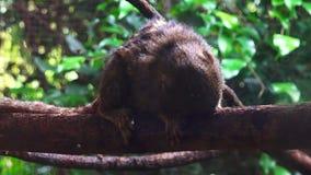 Pygmäenseidenäffchen auf einem Baum stock footage