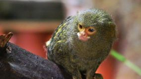 Pygmäenseidenäffchen Cebuella pygmaea, das auf einem Baumstumpf sitzt stock video
