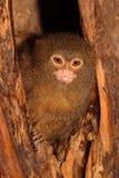 Pygmäenseidenäffchen Cebuella pygmaea in einem Klotz Lizenzfreie Stockfotografie