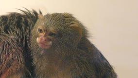 Pygmäenseidenäffchenaffe stock footage