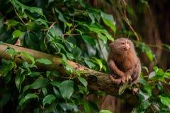 Pygmäenseidenäffchenaffe im Dschungel Stockbilder