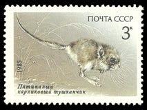 Pygmäenspringmaus Lizenzfreie Stockbilder