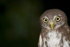 Pygmée-hibou de Ferrouginous Photographie stock libre de droits