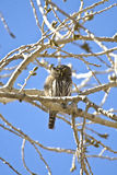 Pygmée-Hibou nordique photos libres de droits