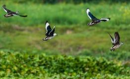 Pygmée-oie de coton, coromandelianus de Nettapus, oiseaux migrateurs, Photographie stock libre de droits