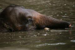 Pygméelefant Borneo royaltyfri fotografi