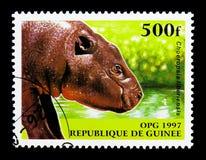 Pygméflodhäst (den Choeropsis liberiensisen), infödd djurseri Royaltyfri Fotografi