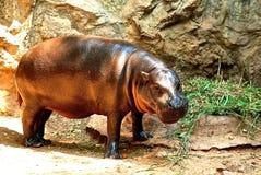 Pygméflodhäst i zoo royaltyfri fotografi