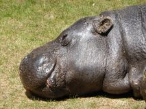Pygméflodhäst som ut ser på världen arkivfoto