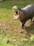 Pygméflodhästlås! Fotografering för Bildbyråer