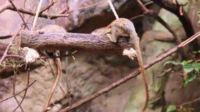 Pygmaea del cebuella della scimmia dell'uistitì pigmeo stock footage
